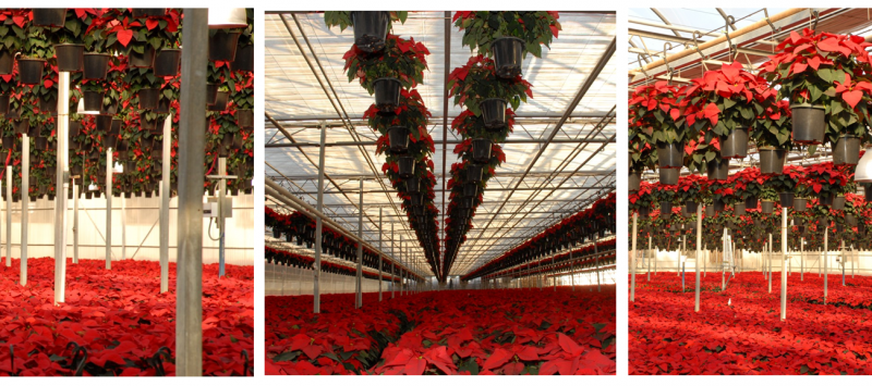 poinsettia group